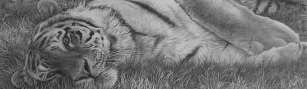 Tigers: Comprehension & Listening