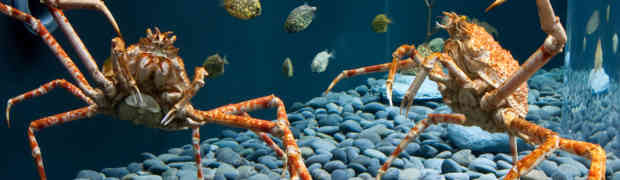 Japanese Giant Spider Crab - Listening